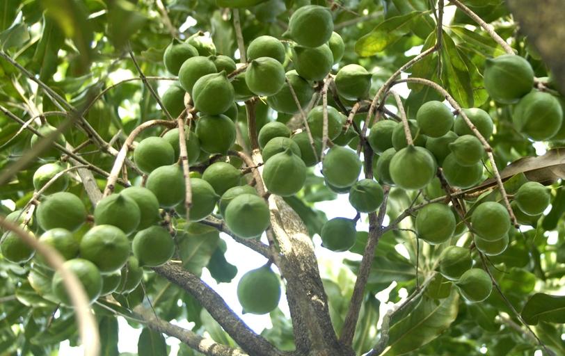 Nguồn gốc cây mắc ca